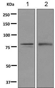 Western blot - Anti-SH3KBP1 antibody [EPR7881(2)] (ab151574)