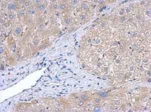 Immunohistochemistry (Formalin/PFA-fixed paraffin-embedded sections) - Anti-Creatine kinase B type antibody (ab151579)