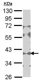 Western blot - Anti-Creatine kinase B type antibody (ab151579)