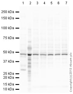 Western blot - Anti-Citrate synthetase antibody (ab151607)