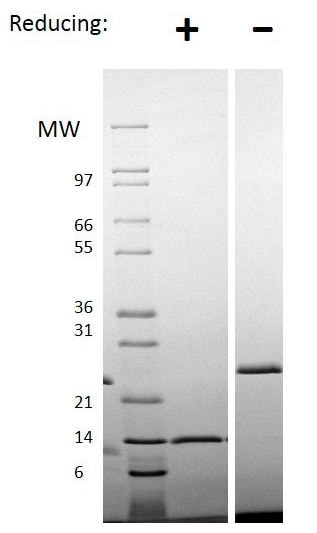SDS-PAGE - Recombinant human/mouse/rat Activin A protein (ab151687)