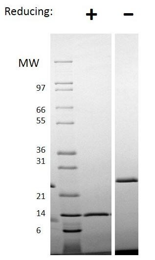 SDS-PAGE - Recombinant rat Activin A protein (ab151689)