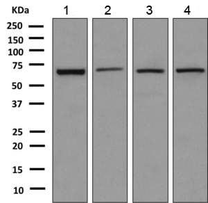 Western blot - Anti-EHD4 antibody [EPR9816(B)] (ab151694)