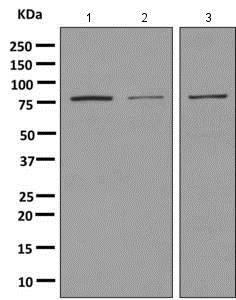 Western blot - Anti-Macrophage Scavenger Receptor I/SR-A antibody [EPR7536] (ab151707)
