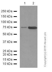 Western blot - Anti-CD204 antibody [EPR7536] (ab151707)