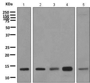 Western blot - Anti-PFDN1 antibody [EPR8547] (ab151708)