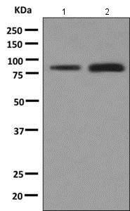 Western blot - Anti-LYPD3 antibody [EPR9107] (ab151709)