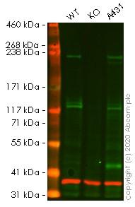 Western blot - Anti-LAMA3 antibody [EPR8266] (ab151715)
