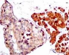 Immunohistochemistry (Formalin/PFA-fixed paraffin-embedded sections) - Anti-TXNRD1 antibody [EPR10204(B)] (ab151716)