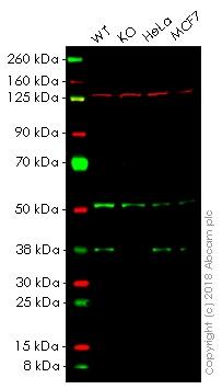 Western blot - Anti-PRAS40 antibody [EPR6263(2)] (ab151719)