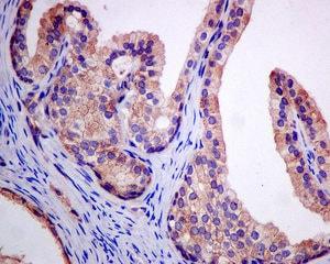 Immunohistochemistry (Formalin/PFA-fixed paraffin-embedded sections) - Anti-Alpha1-adaptin antibody [EPR7572] (ab151720)