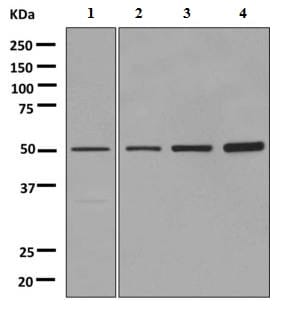 Western blot - Anti-ADRA2B antibody [EPR9623] (ab151727)