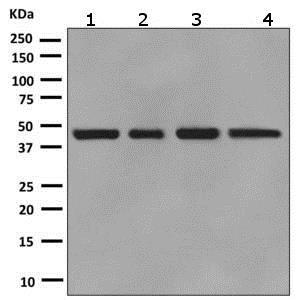 Western blot - Anti-SAHH antibody [EPR9260] (ab151734)