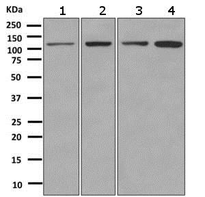 Western blot - Anti-Matrin 3 antibody [EPR10634(B)] (ab151739)