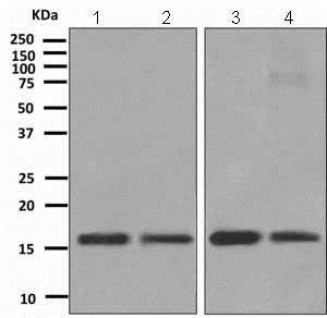Western blot - Anti-TCEB2/Elongin-B antibody [EPR10440(B)] (ab151743)