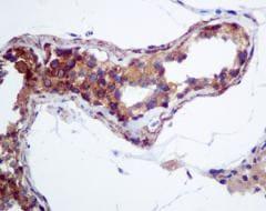 Immunohistochemistry (Formalin/PFA-fixed paraffin-embedded sections) - Anti-HOOK1 antibody [EPR10102] (ab151756)