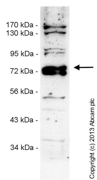 Western blot - Anti-UNK unkempt antibody (ab151759)