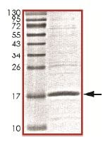 SDS-PAGE - Recombinant Human Ube2B protein (ab151807)