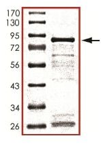 SDS-PAGE - Recombinant Human Smad3 protein (ab151882)