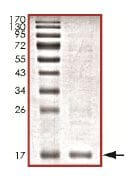 SDS-PAGE - Recombinant Human Rad6 protein (ab151928)