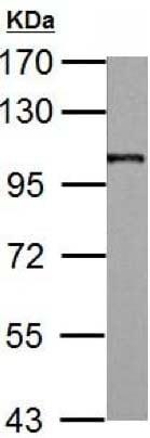 Western blot - Anti-AP2B1 antibody (ab151961)
