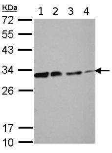 Western blot - Anti-DCK antibody (ab151966)