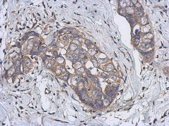Immunohistochemistry (Formalin/PFA-fixed paraffin-embedded sections) - Anti-CYP2J2 antibody (ab151996)