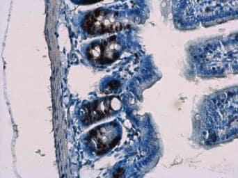 Immunohistochemistry (Formalin/PFA-fixed paraffin-embedded sections) - Anti-BrdU antibody (ab152095)