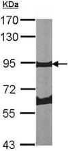 Western blot - Anti-Periostin antibody (ab152099)