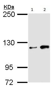 Western blot - Anti-HIPK1 antibody - C-terminal (ab152109)
