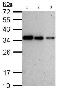 Western blot - Anti-PCNA antibody (ab152112)