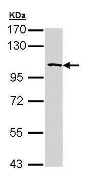 Western blot - Anti-SAP102 antibody (ab152132)