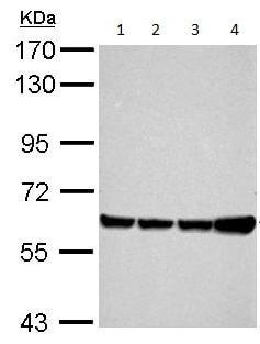 Western blot - Anti-AFM antibody (ab152141)