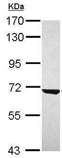 Western blot - Anti-CKAP4 antibody (ab152154)