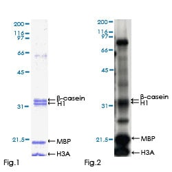 Functional Studies - Recombinant human DYRK2 protein (ab152869)