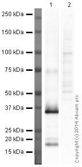 Western blot - Anti-galectin 9/Gal-9 antibody [1G3] (ab153673)