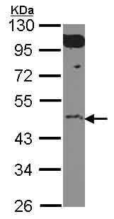 Western blot - Anti-EWSR1/EWS antibody (ab153719)