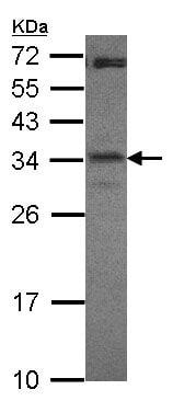 Western blot - Anti-ICER antibody (ab153723)