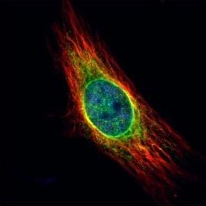 Immunocytochemistry/ Immunofluorescence - Anti-Cathepsin S antibody (ab153737)