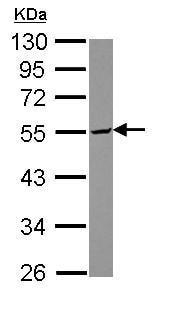 Western blot - Anti-SERINC3 antibody (ab153748)