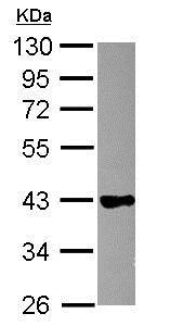 Western blot - Anti-GAPDS antibody (ab153802)