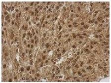 Immunohistochemistry (Formalin/PFA-fixed paraffin-embedded sections) - Anti-FGF13 antibody (ab153808)