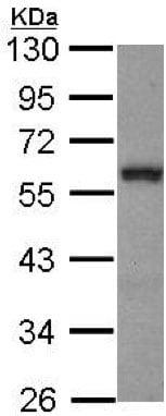 Western blot - Anti-GATA2 antibody (ab153820)