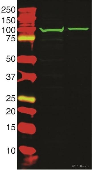 Western blot - Anti-RASA3 antibody (ab153846)