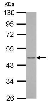Western blot - Anti-Arfaptin-1 antibody (ab153881)