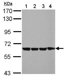 Western blot - Anti-EHD4 antibody (ab153892)