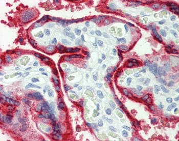 Immunohistochemistry (Formalin/PFA-fixed paraffin-embedded sections) - Anti-Growth Hormone antibody (ab153901)