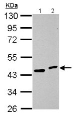 Western blot - Anti-HOXC10 antibody (ab153904)
