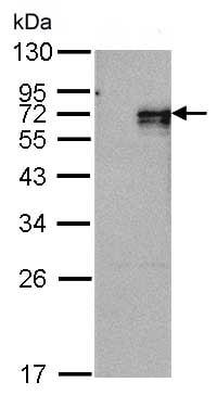Western blot - Anti-NUR77 antibody (ab153914)