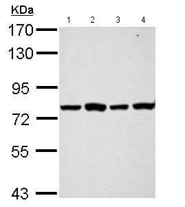 Western blot - Anti-PABP antibody (ab153930)